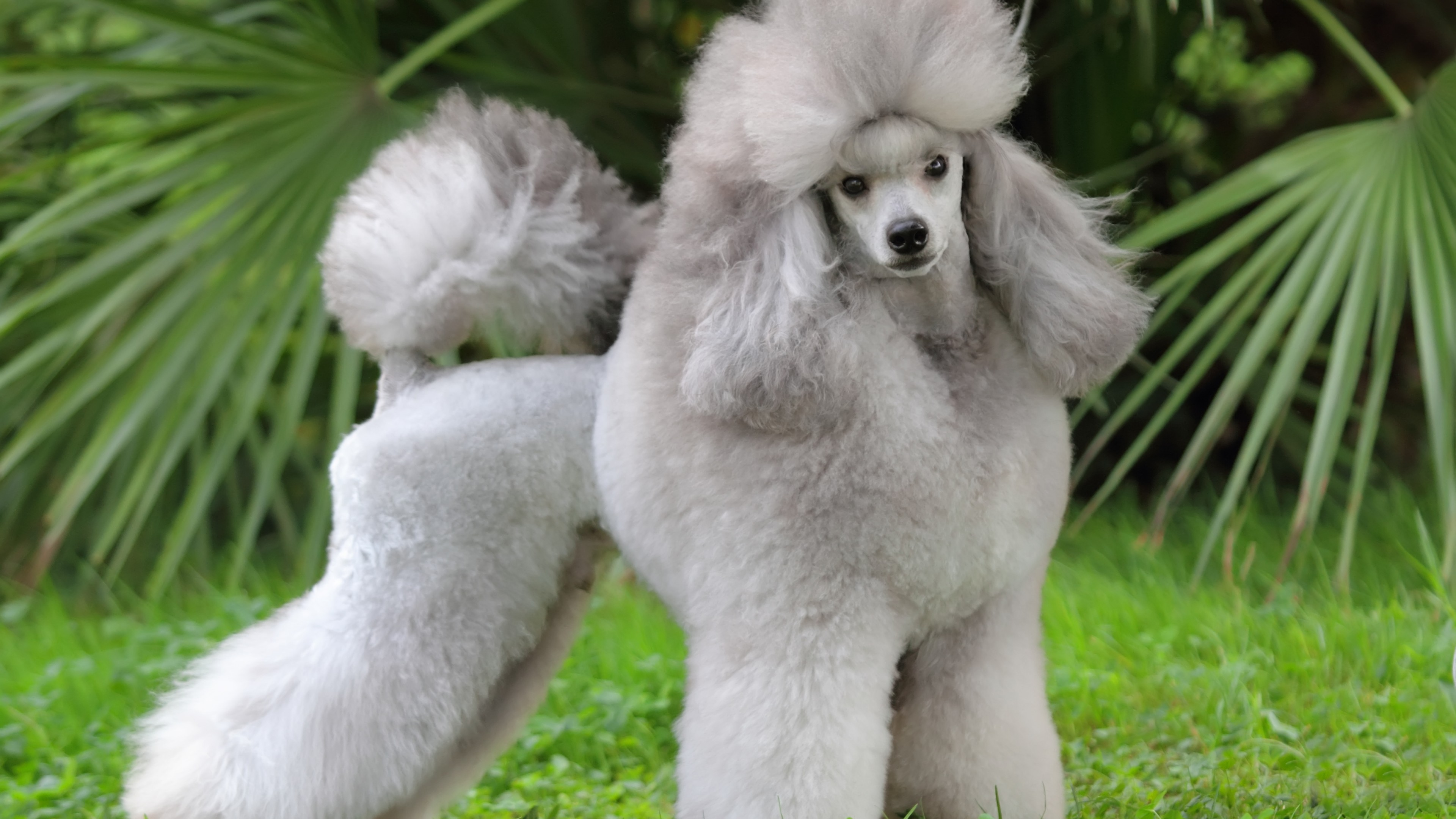 Cute Grey Wallpaper Wallpaper Poodle Grey Grass Cute Animals Animals 10144