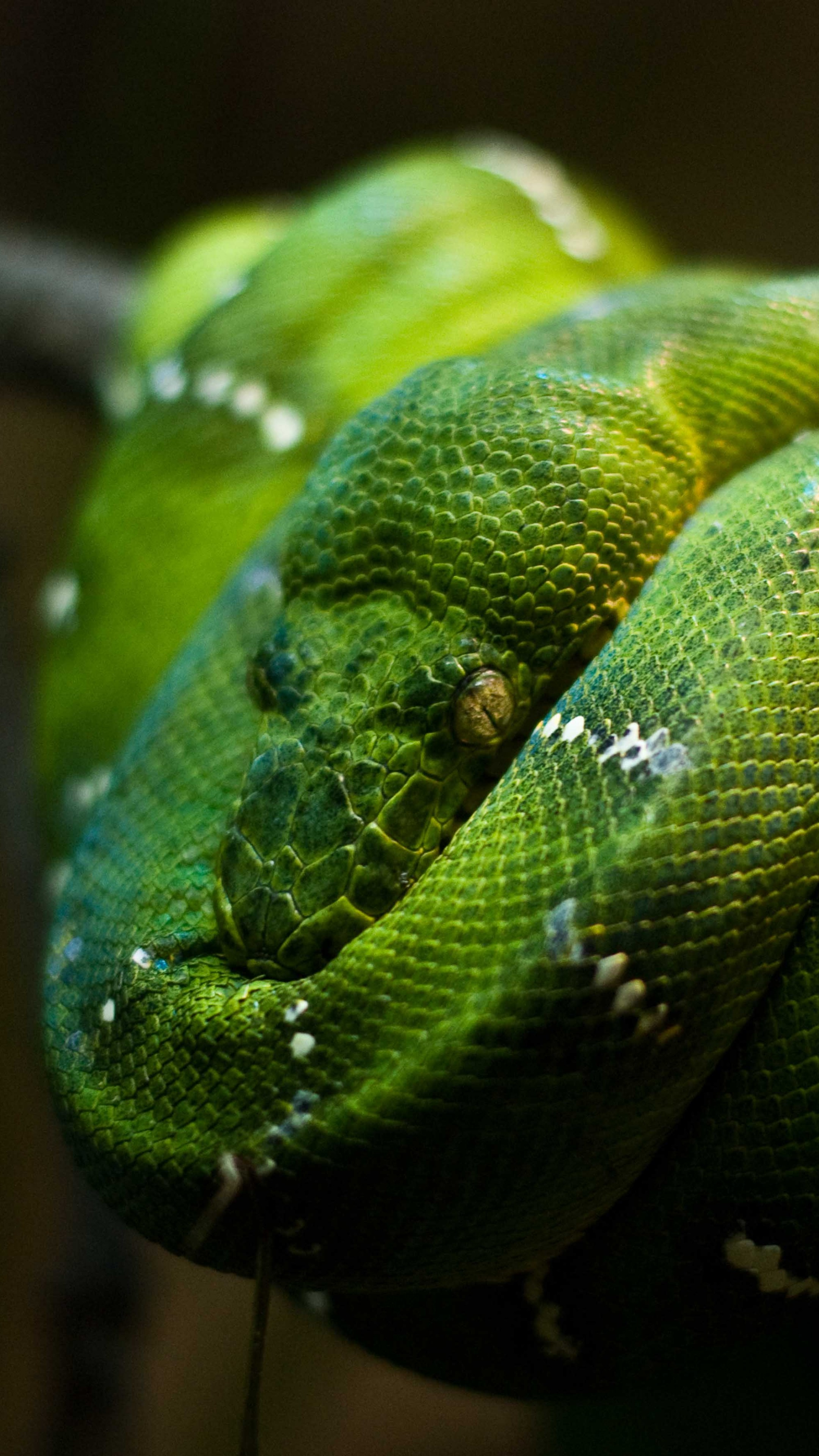 Us Military Wallpaper Quotes Wallpaper Python Singapore Zoo Emerald Green Snake