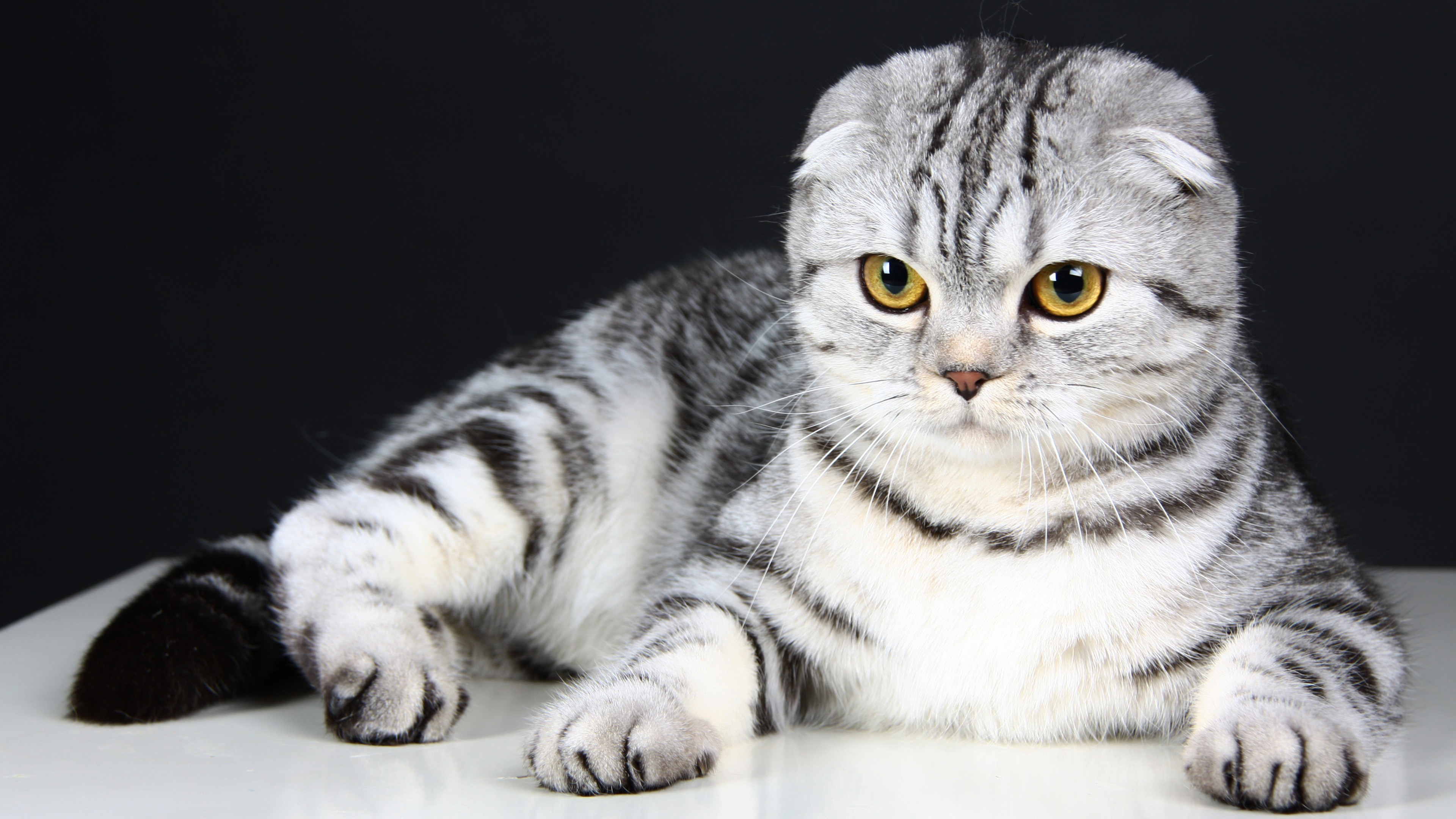 Cute Quotes Wallpapers For Facebook Wallpaper Scottish Fold Cat Kitten Eyes Gray Wool