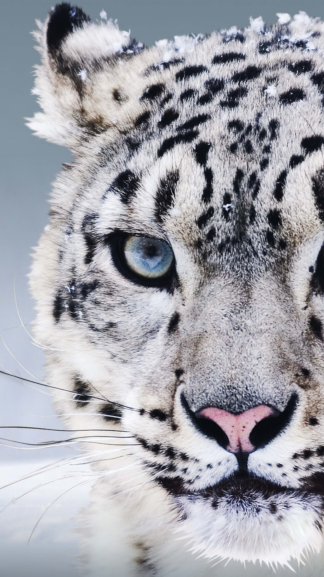 Cute Wallpapers For Girls Pc Wallpaper Snow Leopard China Blue Eyes Snow Animals 8257