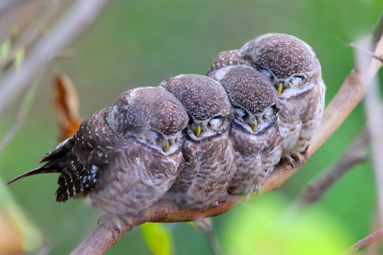 Cute Owl Iphone Wallpaper Wallpaper Spotted Owl Owls Birds Mom Babes Cute