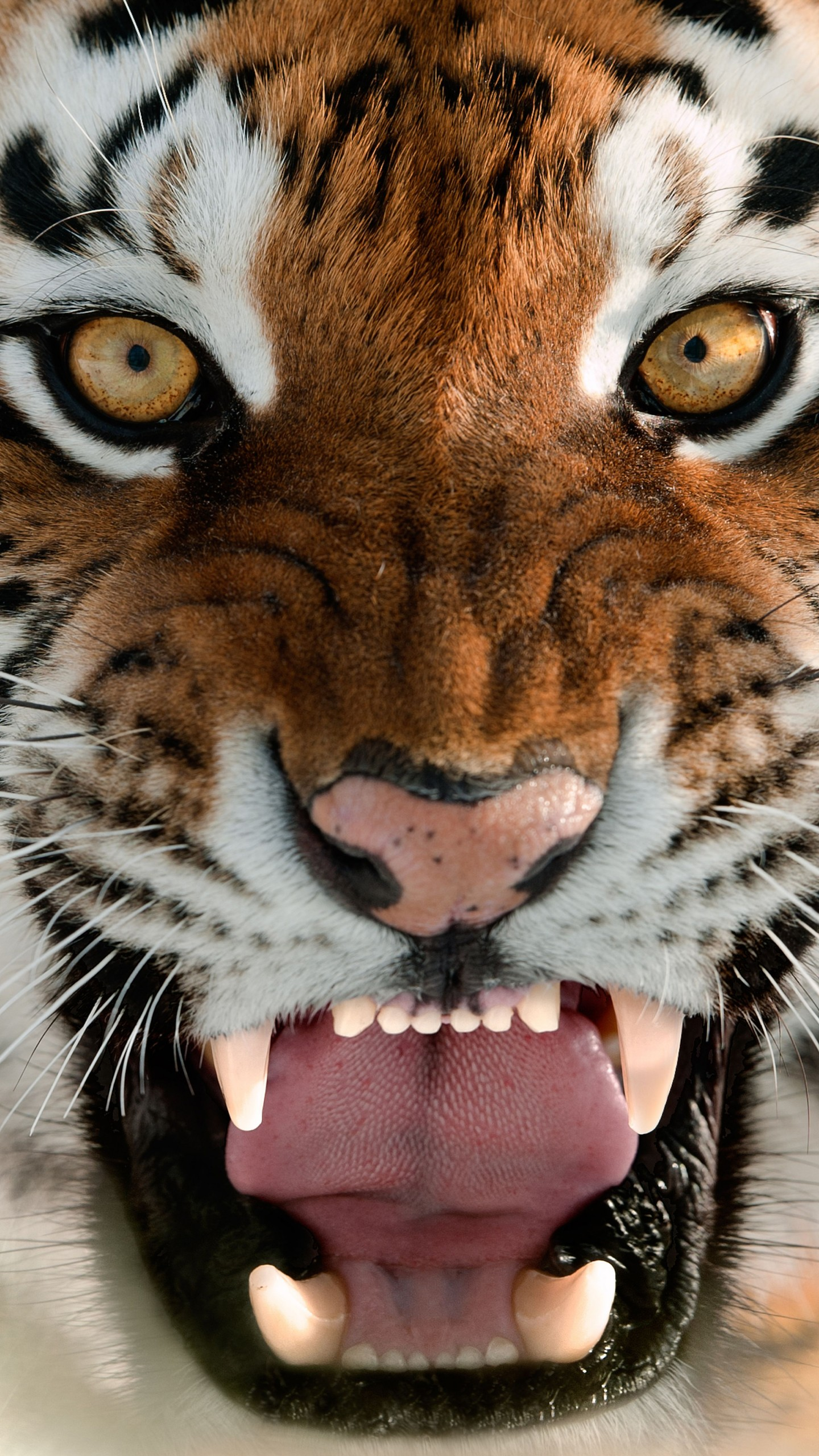 Iphone 6 Wallpaper Hd Download Wallpaper Tiger Muzzle Grin Amur Tiger Portrait