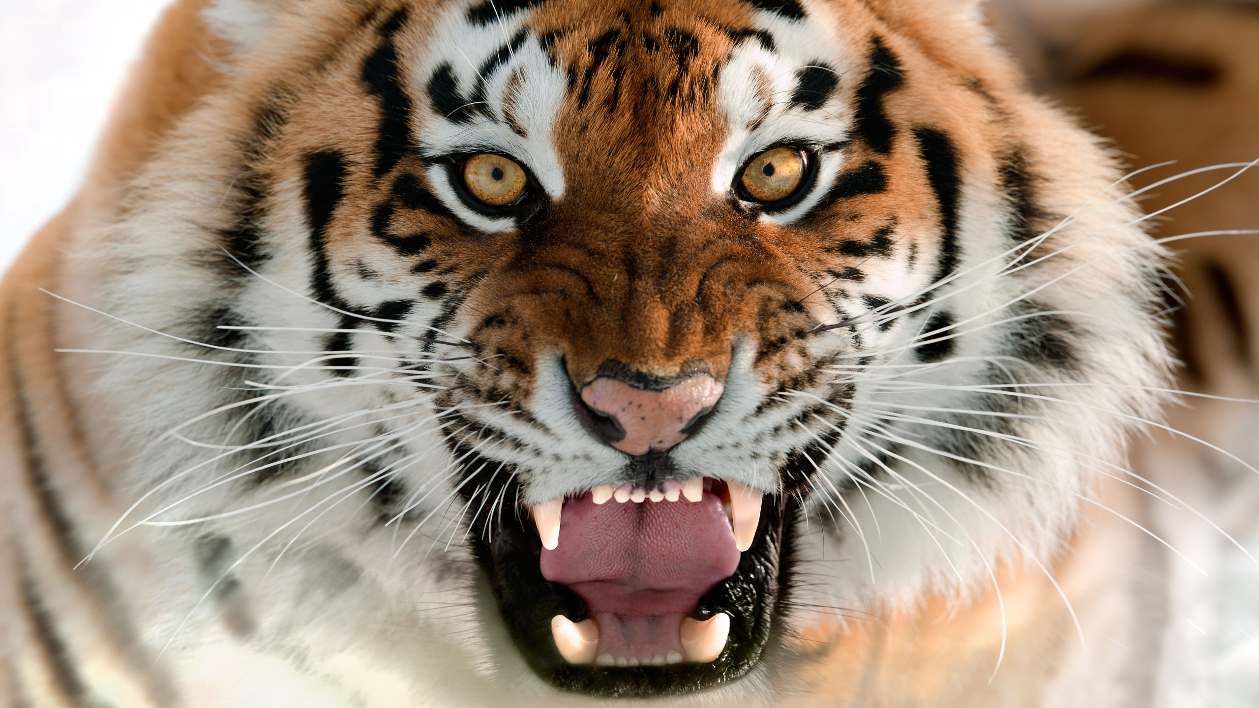 Cool Cute Girly Wallpapers Wallpaper Tiger Muzzle Grin Amur Tiger Portrait