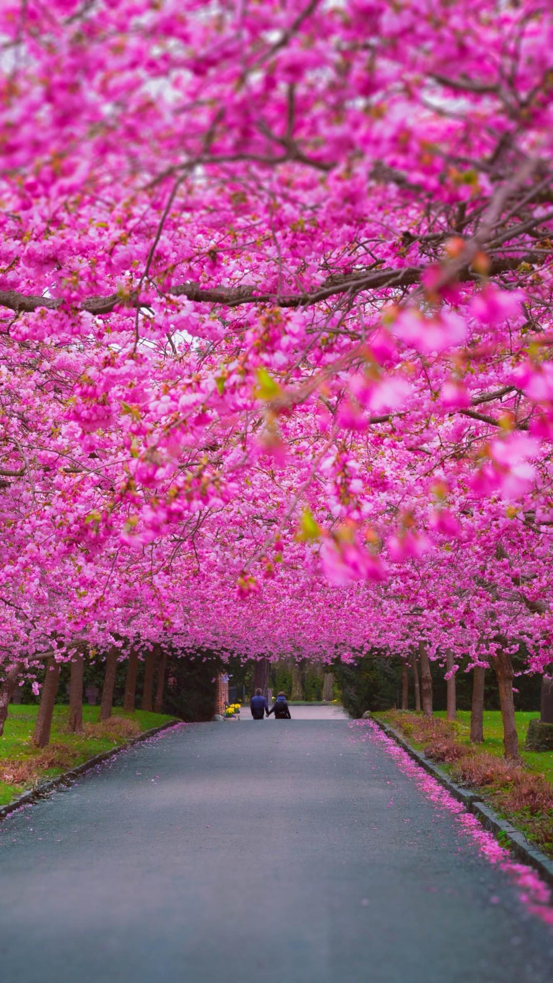 Cherry Blossom Wallpaper Hd Wallpaper Trees 4k 5k Wallpaper Sakura Spring Nature