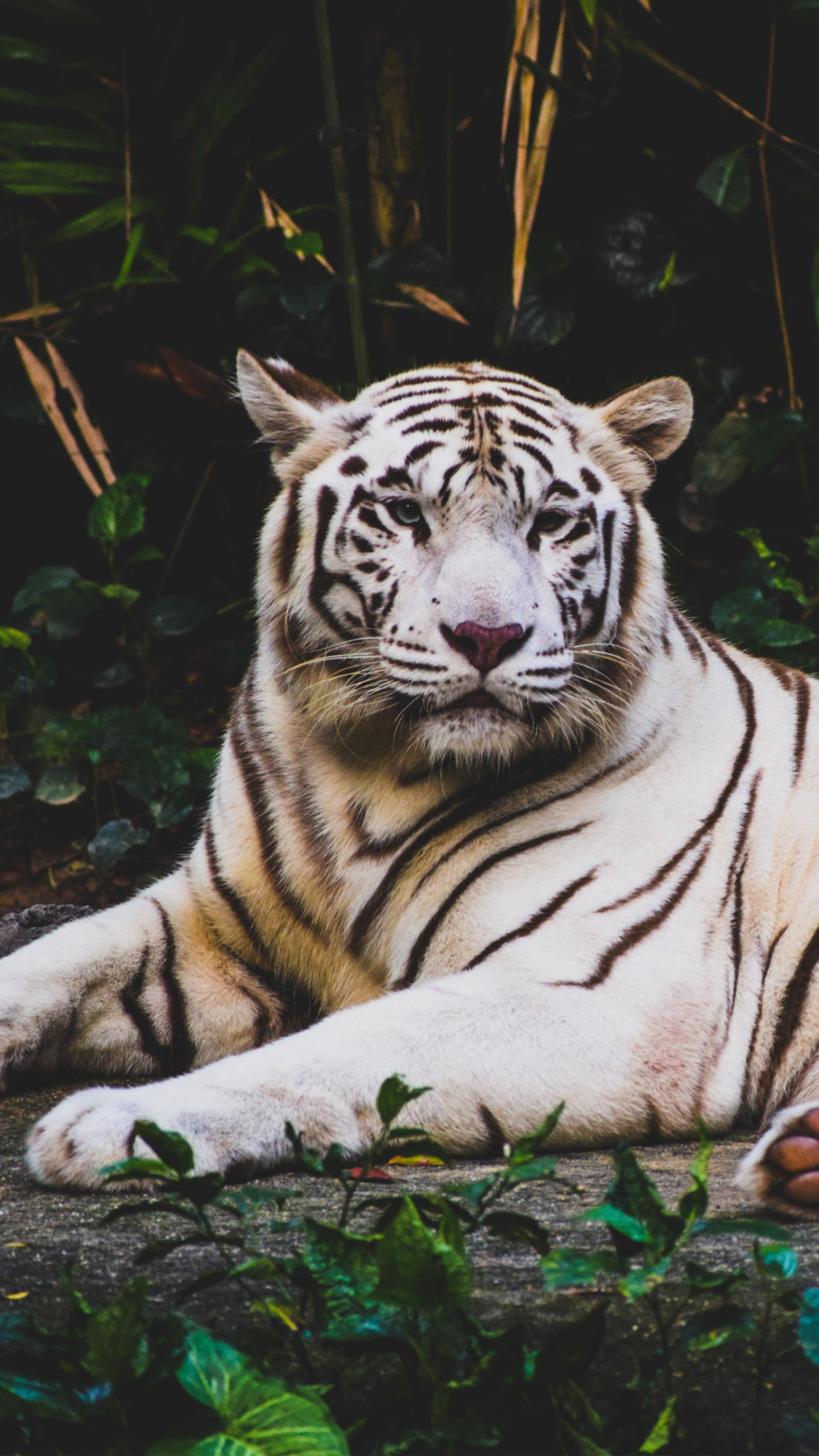 Japanese Quotes Wallpaper Wallpaper White Tiger 4k Animals 15640