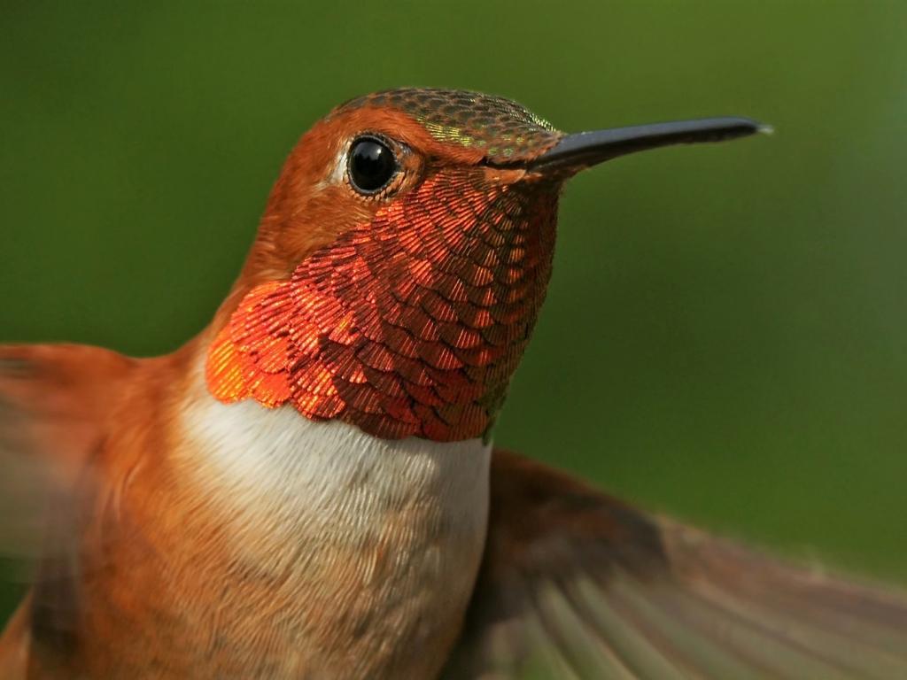 Download Cute Love Mobile Wallpapers Nokia E71 Desktop Wallpaper Close Up Hummingbird Beautiful Hd