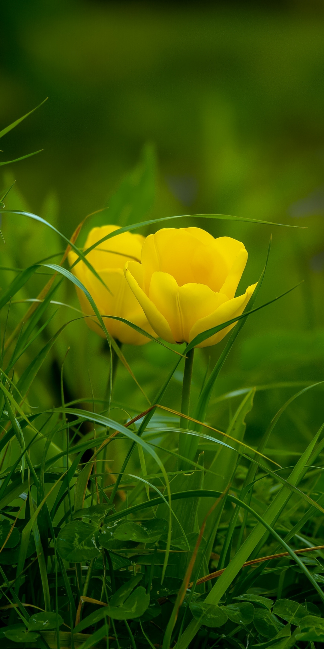 Cute Wallpaper For S5 Download 1080x2160 Wallpaper Grass Yellow Tulips Bloom