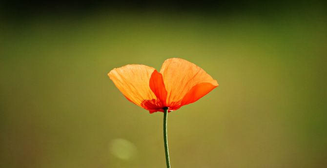 Cute Wallpaper For S5 Desktop Wallpaper Single Flower Orange Poppy Hd Image