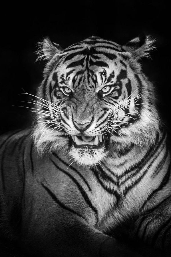 20 White Tattoos On Tiger Background Ideas And Designs