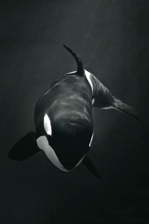 Car Wallpapers For Android Hd Orca Killer Whale Hd Wallpapers Download