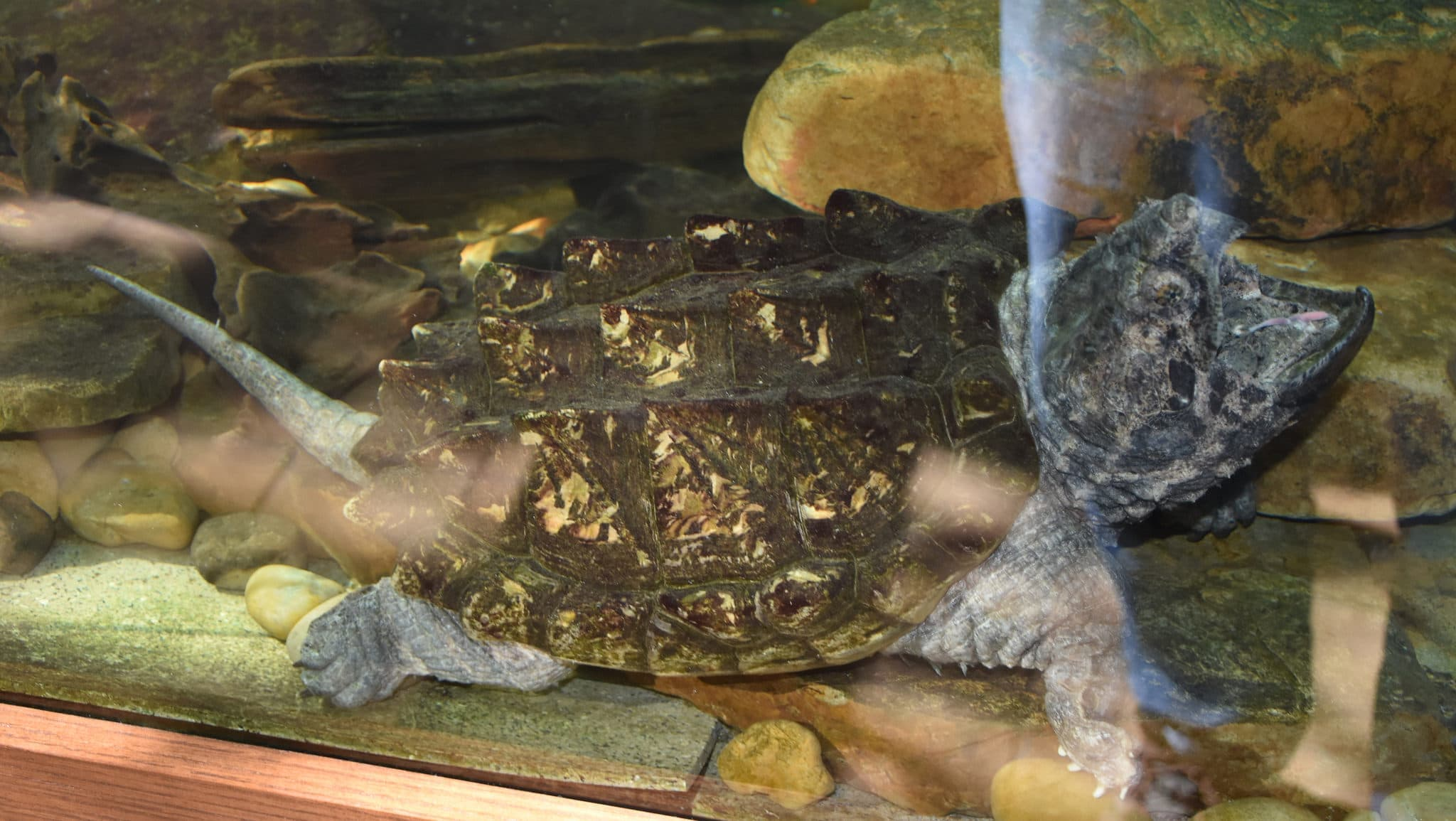 9 Alligator Snapping Turtle Wallpapers Hd