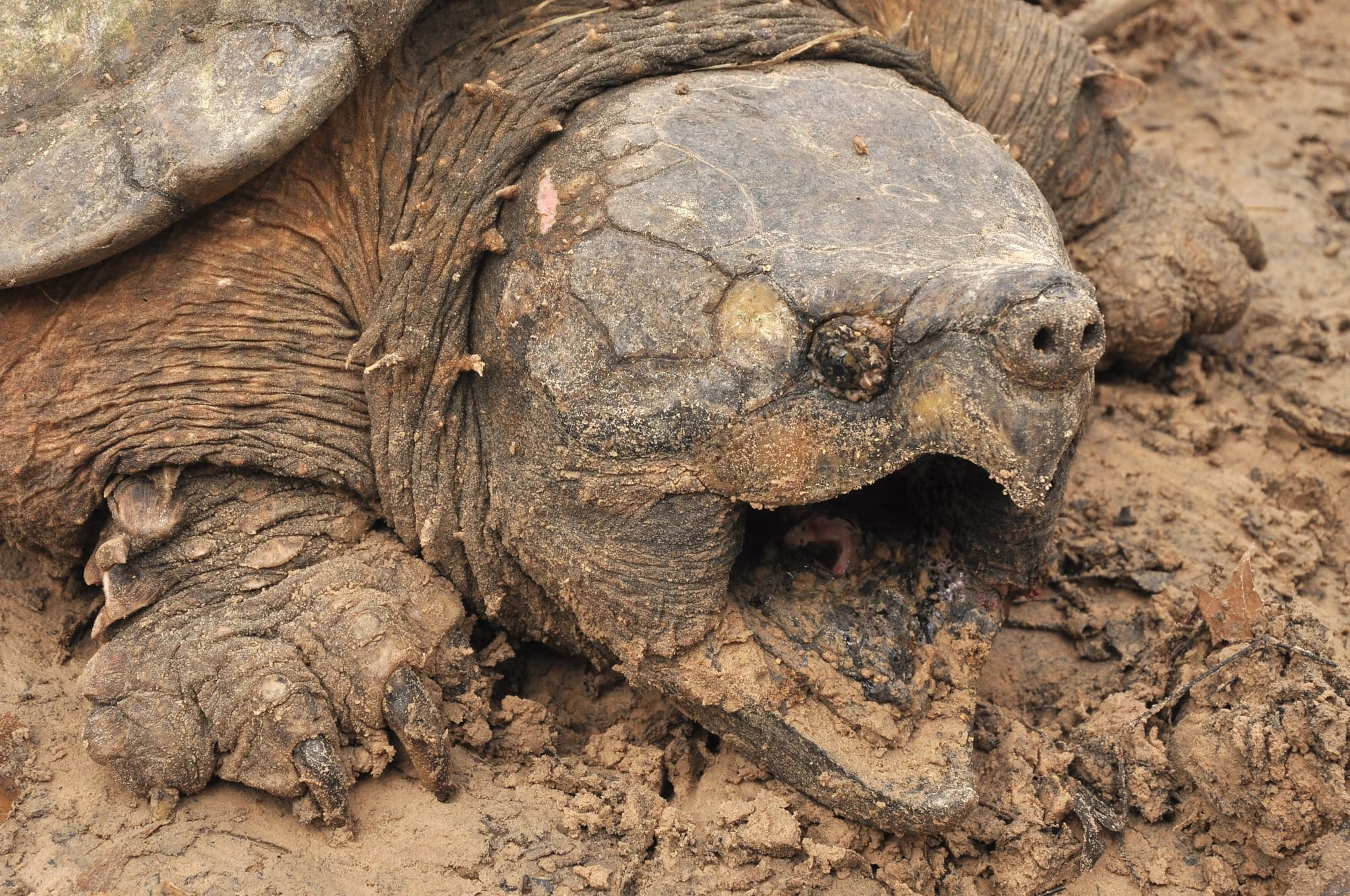 High Resolution Wallpapers Of Animals 9 Alligator Snapping Turtle Wallpapers Hd