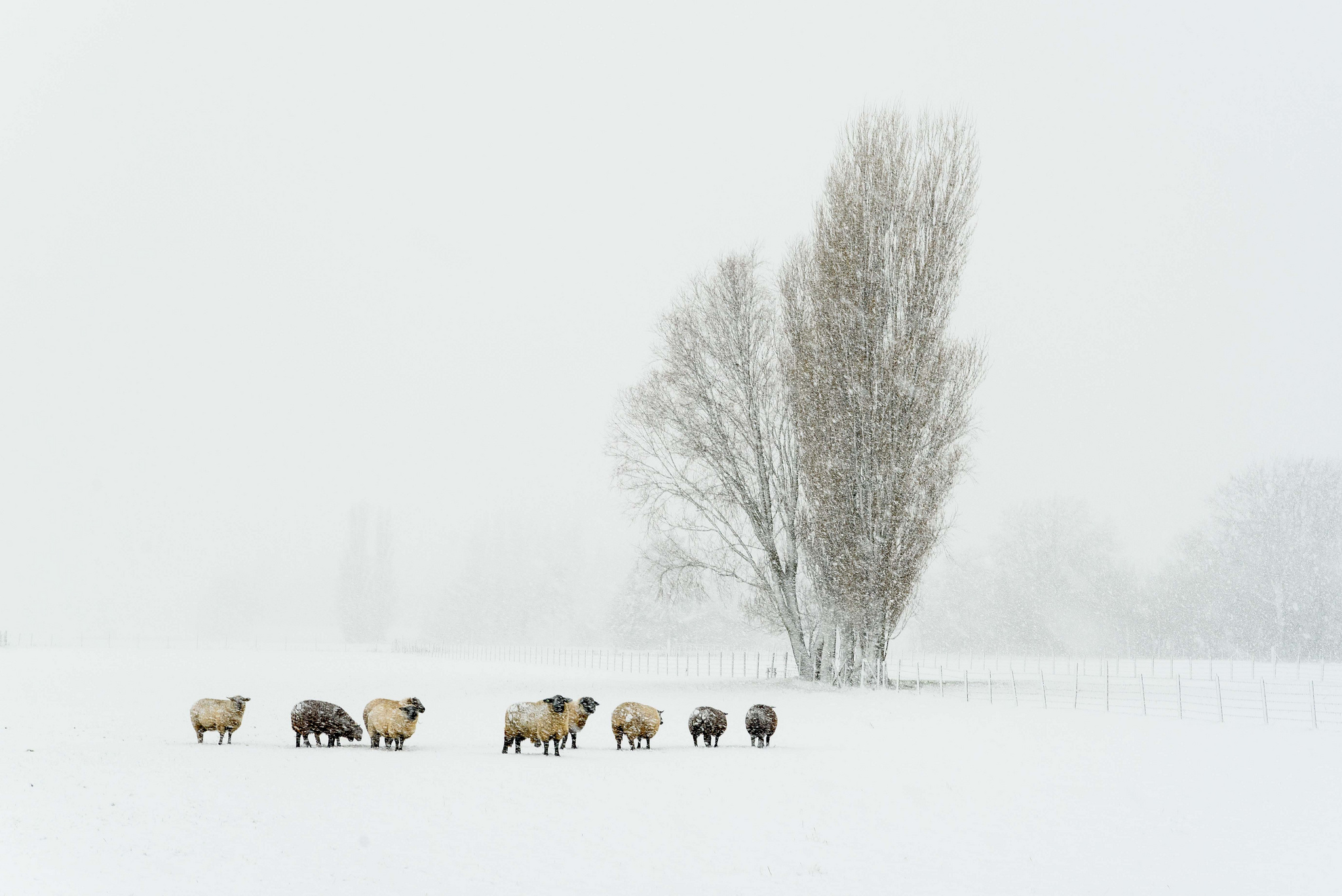 Animals In Snow Wallpaper 7 Beautiful Landscapes In Winter Holland Birds Farm Sheep