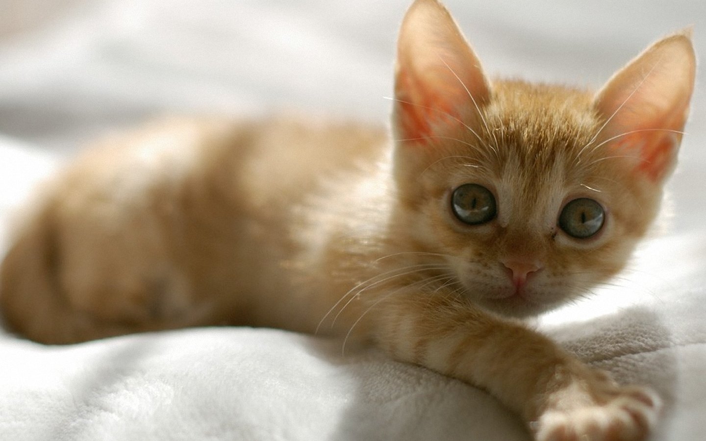 Cute Pets Wallpaper Hd Cute Orange Kitten Wallpapers Cute Orange Kitten Stock