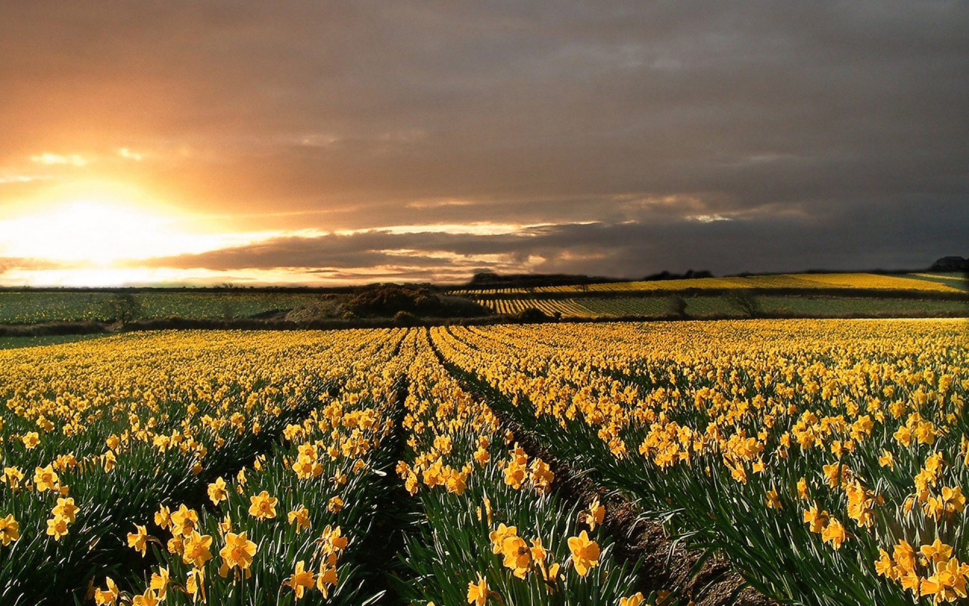 Iphone 5 Wallpapers Quotes Daffodils Field Sunset Horizon Wallpapers Daffodils