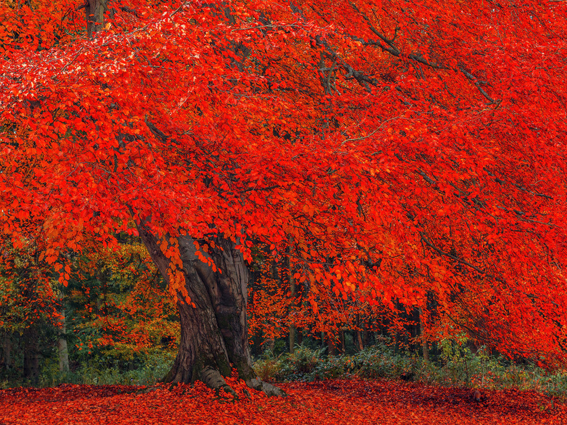 Animated Fall Wallpaper Luminous Red Autumn Tree Wallpapers Luminous Red Autumn