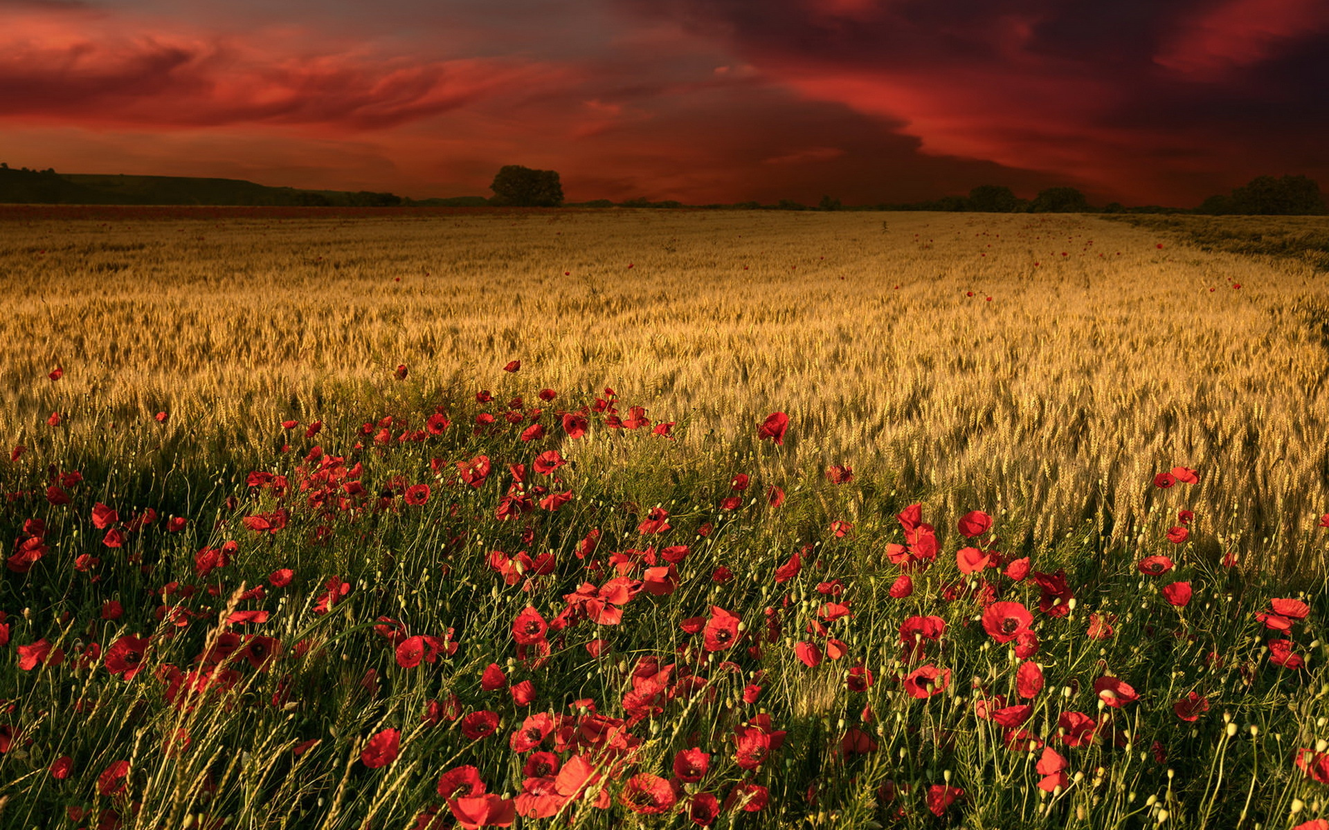 Cute Wallpaper For Ipad Mini 2 Poppys Wheat Amp Red Sky Wallpapers Poppys Wheat Amp Red Sky