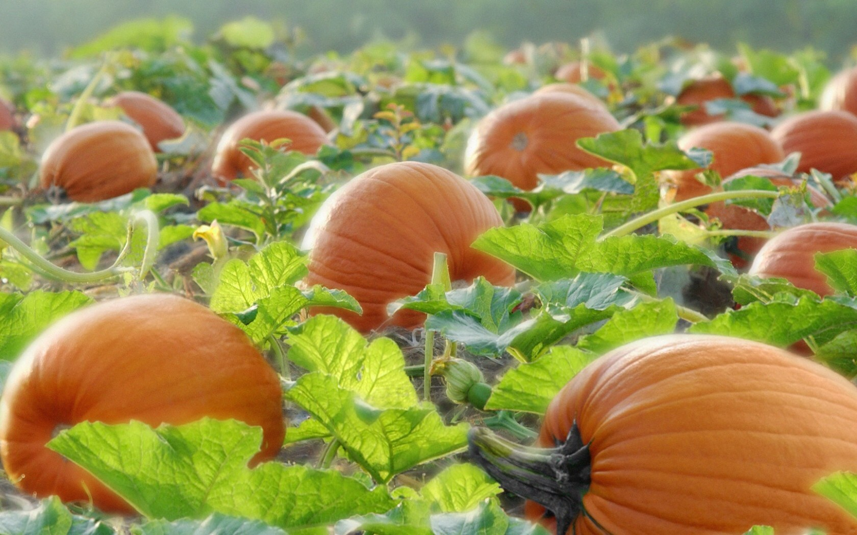 Fall Harvest Iphone Wallpaper Pumpkins On The Field Wallpapers Pumpkins On The Field