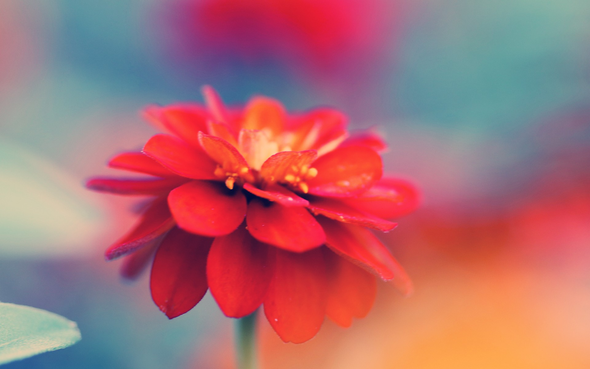 Daisy Iphone Wallpaper Red Mao Flower Macro Wallpapers Red Mao Flower Macro