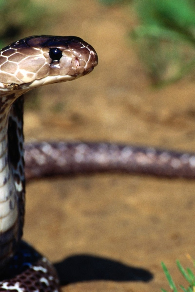 Download Wallpapers Of Cute Animals 640x960 Snake Standing Iphone 4 Wallpaper