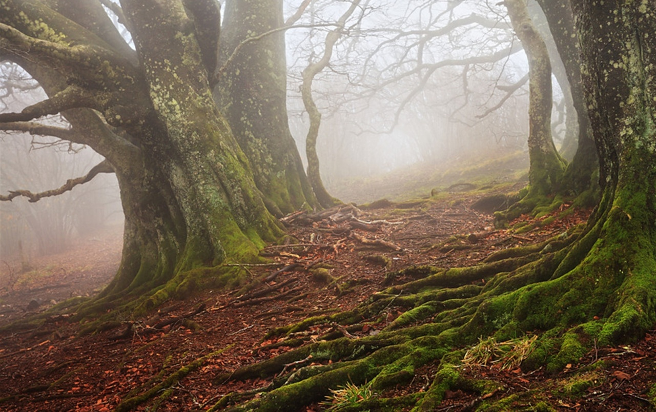 Old Beech Forest Foggy Wallpapers Old Beech Forest Foggy