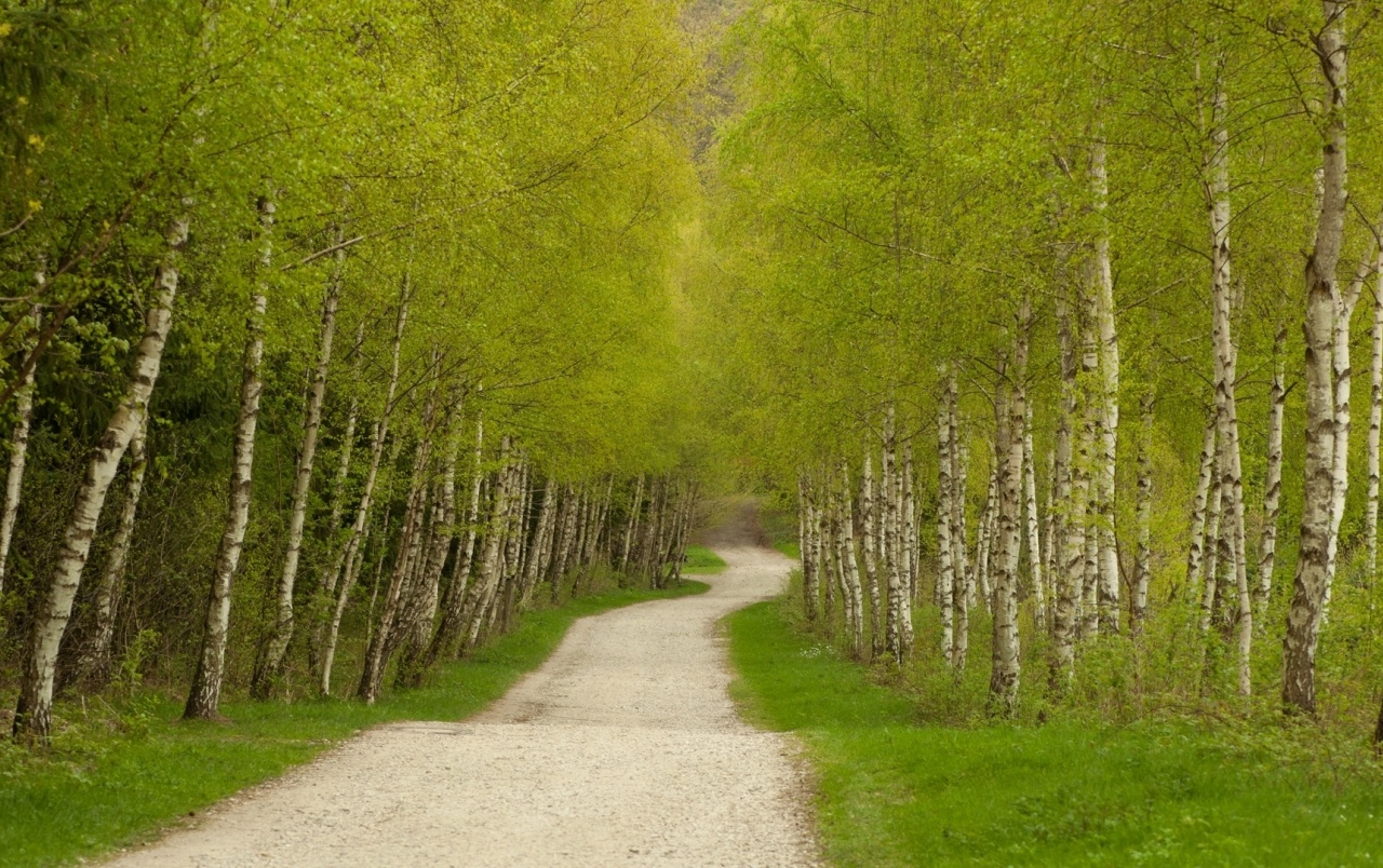Bright Hd Wallpapers For Iphone Bright Green Birch Trees Path Wallpapers Bright Green