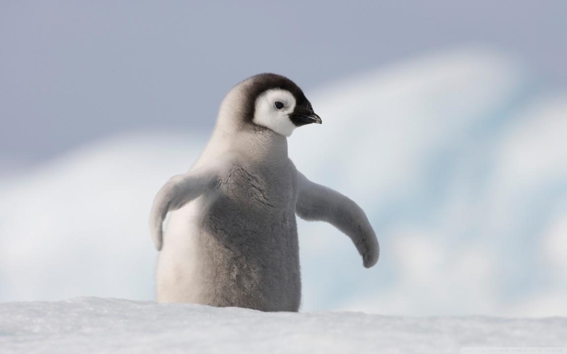 Cute Penguin Wallpaper Desktop Baby Penguin Antarctica Ultra Hd Desktop Background