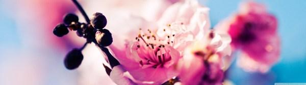Beautiful Cherry Blossom 4k Hd Desktop Wallpaper