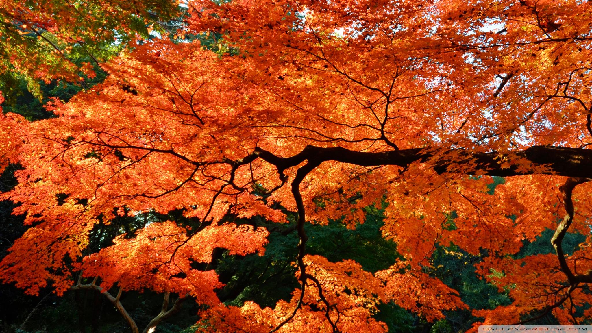 Fall Season Computer Wallpaper Beautiful Japanese Maple Tree 4k Hd Desktop Wallpaper For