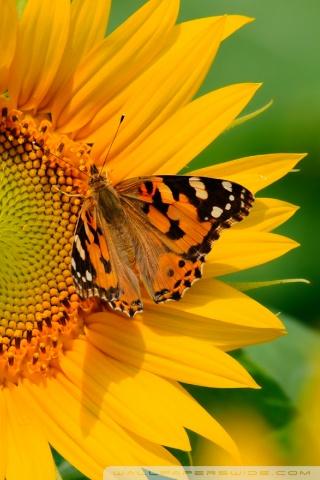 Cute Butterfly Phone Wallpapers Butterfly On Sunflower Ultra Hd Desktop Background