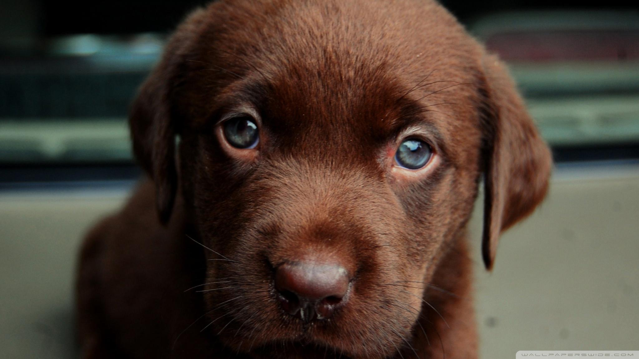 Cute Dog Wallpapers Fot Google Chocolate Puppy 4k Hd Desktop Wallpaper For 4k Ultra Hd Tv