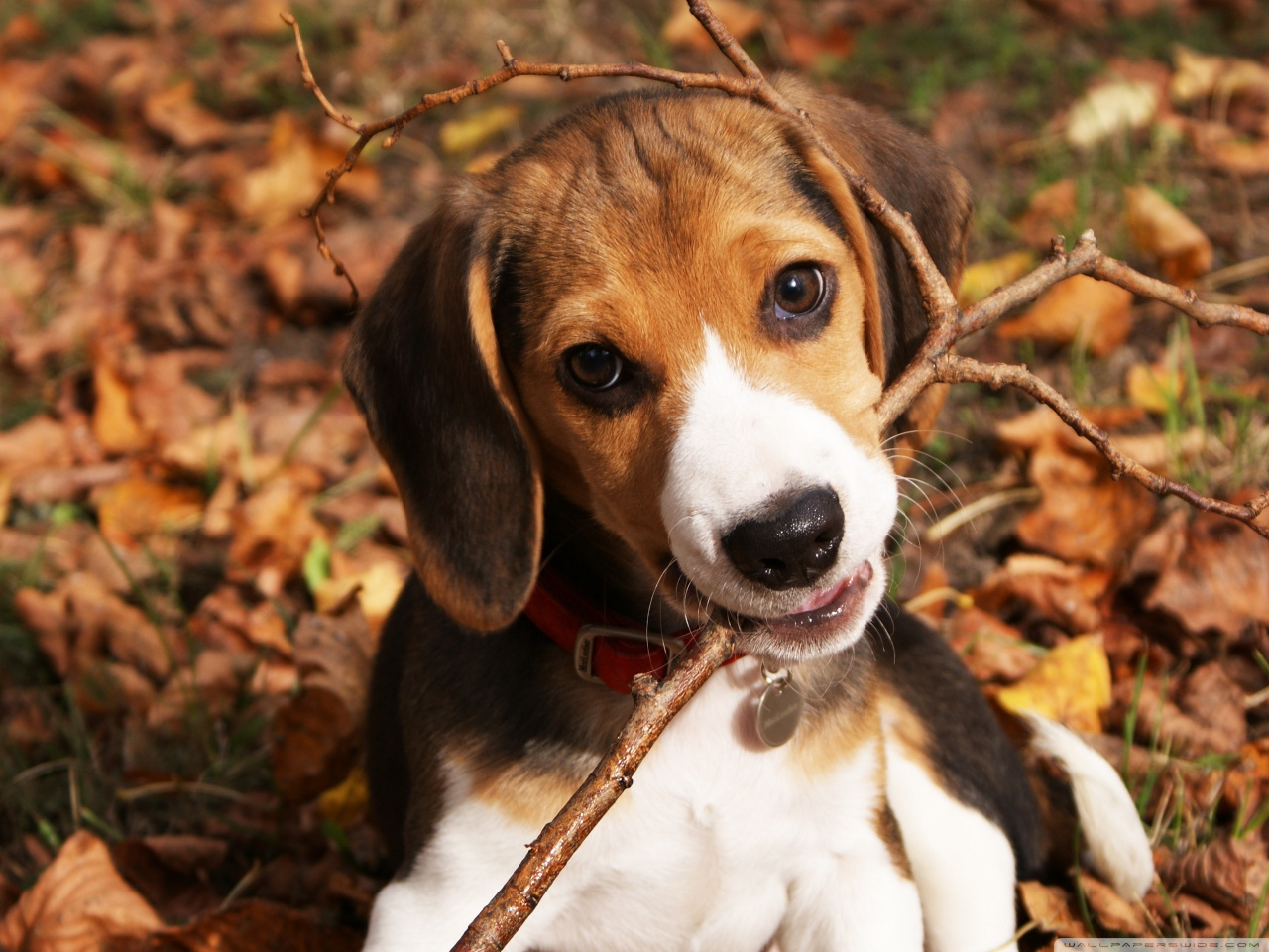 Cute Dog Wallpapers Fot Google Cute Beagle Puppy 4k Hd Desktop Wallpaper For 4k Ultra Hd