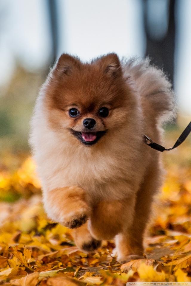Fall Leaves Ipad Wallpaper Cute Pomeranian Puppy Enjoying A Fall Day 4k Hd Desktop