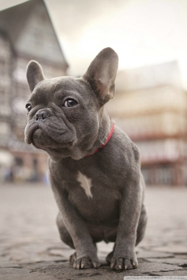 Cute Pets Wallpaper Hd French Bulldog 4k Hd Desktop Wallpaper For 4k Ultra Hd Tv
