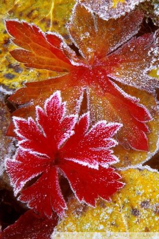 Frosty Fall Leaves Wallpaper Frosty Leaves 4k Hd Desktop Wallpaper For 4k Ultra Hd Tv