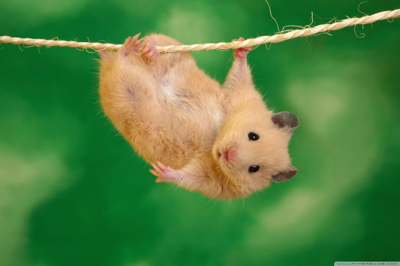 funny hamster ❤ uhd desktop wallpaper for ultra hd 4k 8k