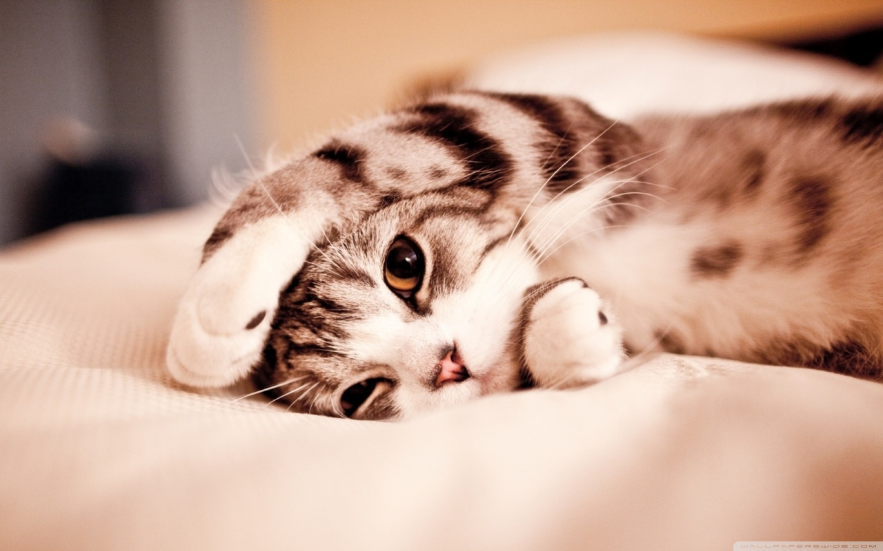 funny lazy cat ❤ uhd desktop wallpaper for ultra hd 4k 8k