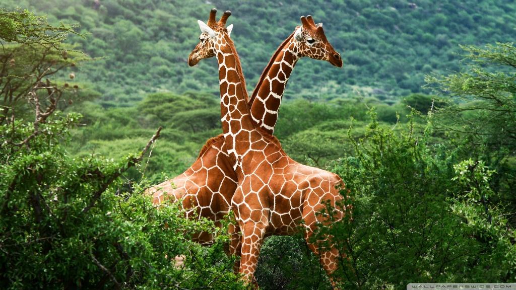 Giraffes, Africa HD desktop wallpaper : High Definition ...