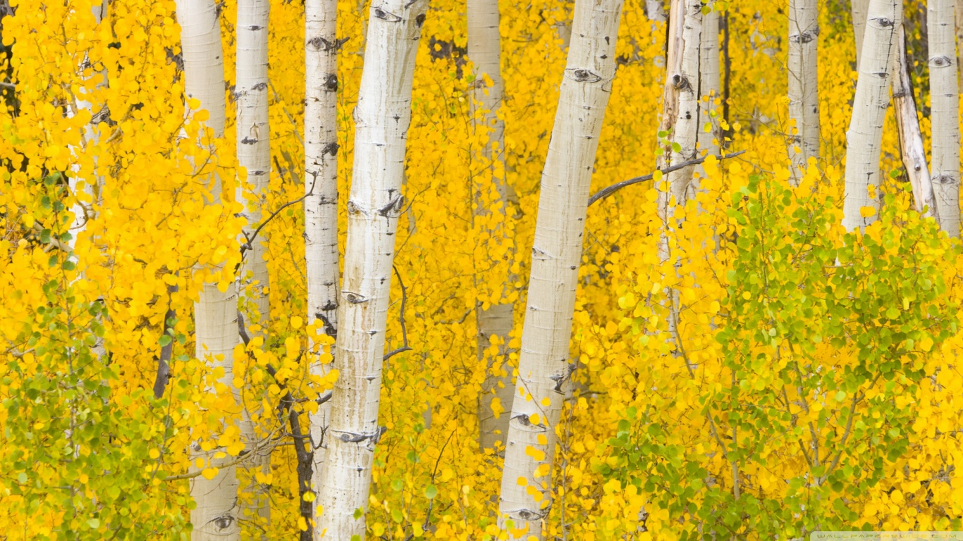 Fall Birch Tree Wallpaper Golden Aspens Rocky Mountains Colorado 4k Hd Desktop