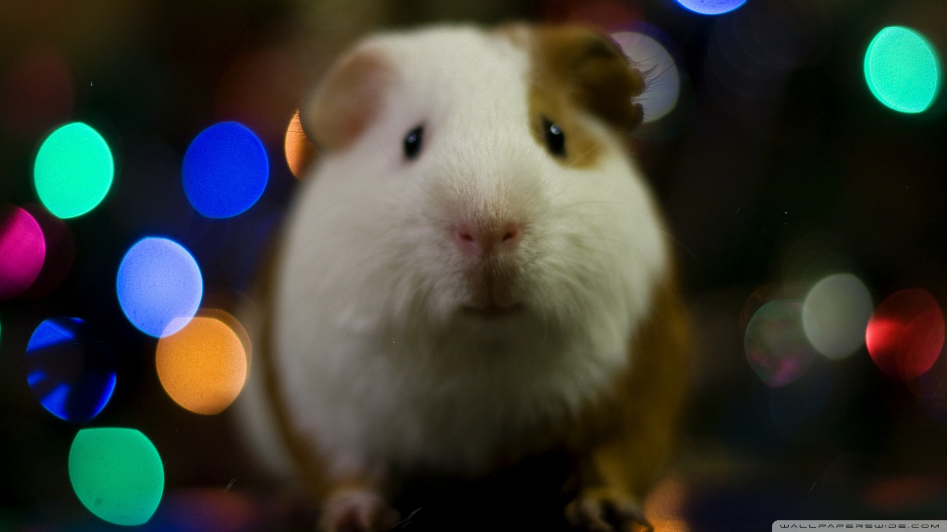 Cute Pig Wallpaper Hd Guinea Pig Christmas 4k Hd Desktop Wallpaper For 4k Ultra