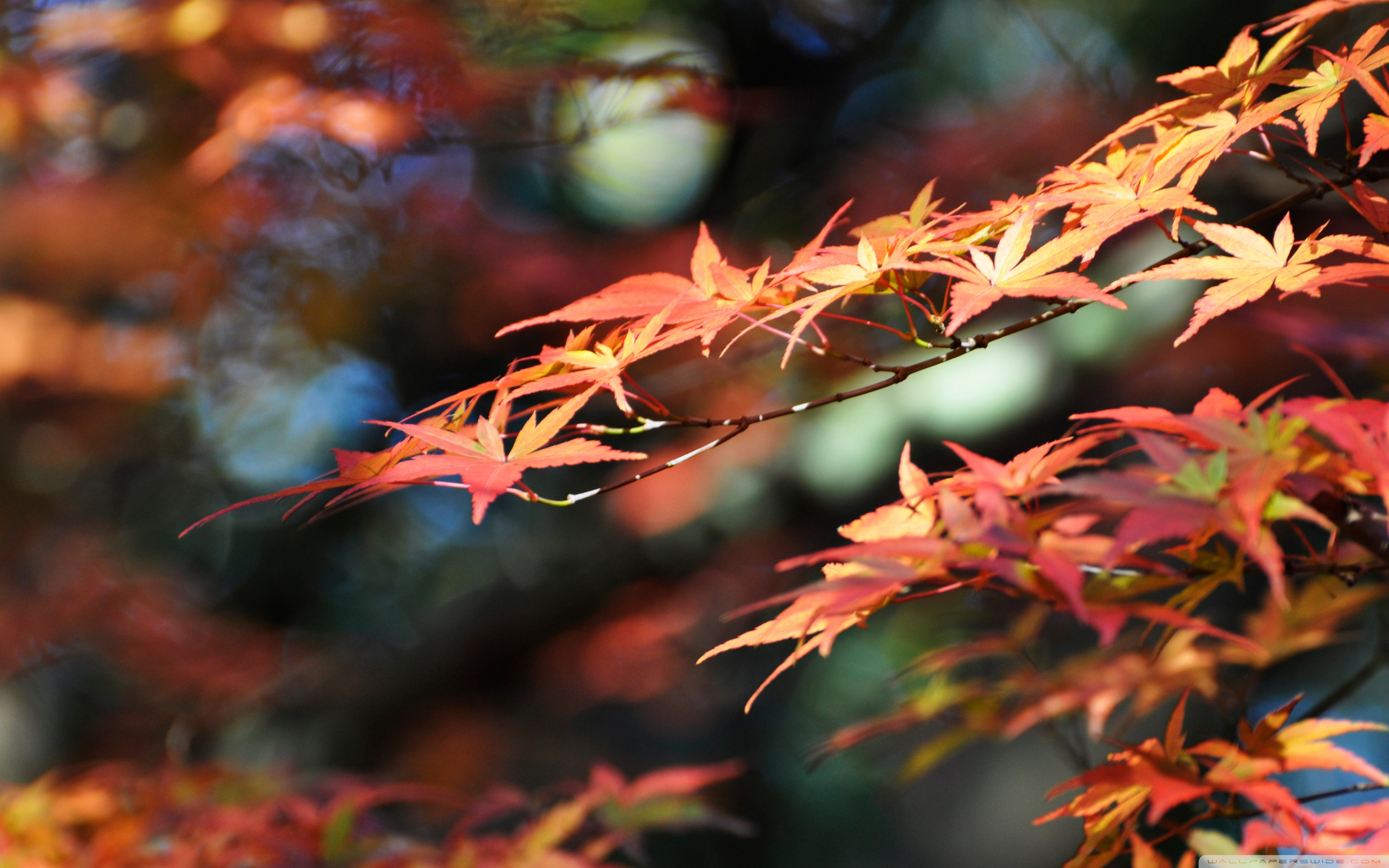 Fall Leaves Iphone Wallpaper Japanese Maple Leaves Fall Colors 4k Hd Desktop Wallpaper