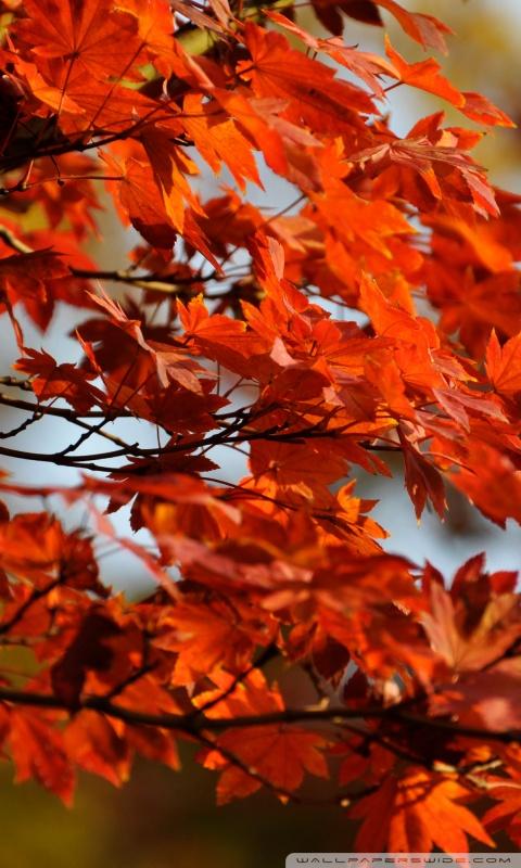 Fall Leaves Wallpaper For Ipad Japanese Maple Tree 4k Hd Desktop Wallpaper For 4k Ultra