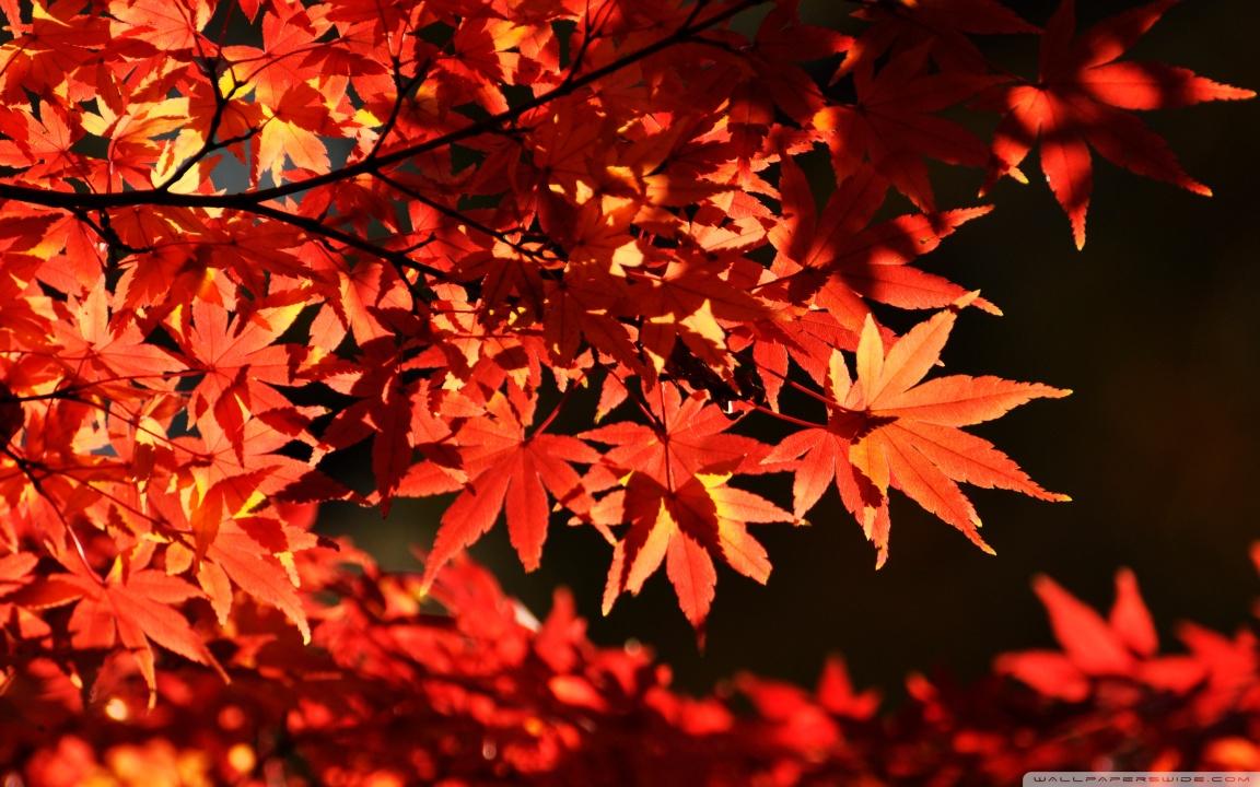 Autumn Tree Leaf Fall Animated Wallpaper Japanese Maple Trees Autumn 4k Hd Desktop Wallpaper For