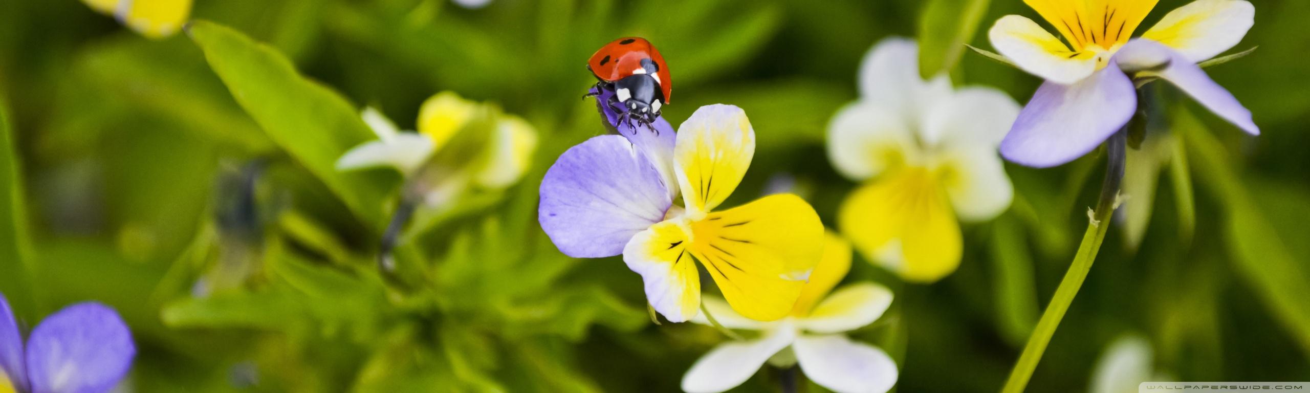 ladybug on a pansy wallpapers