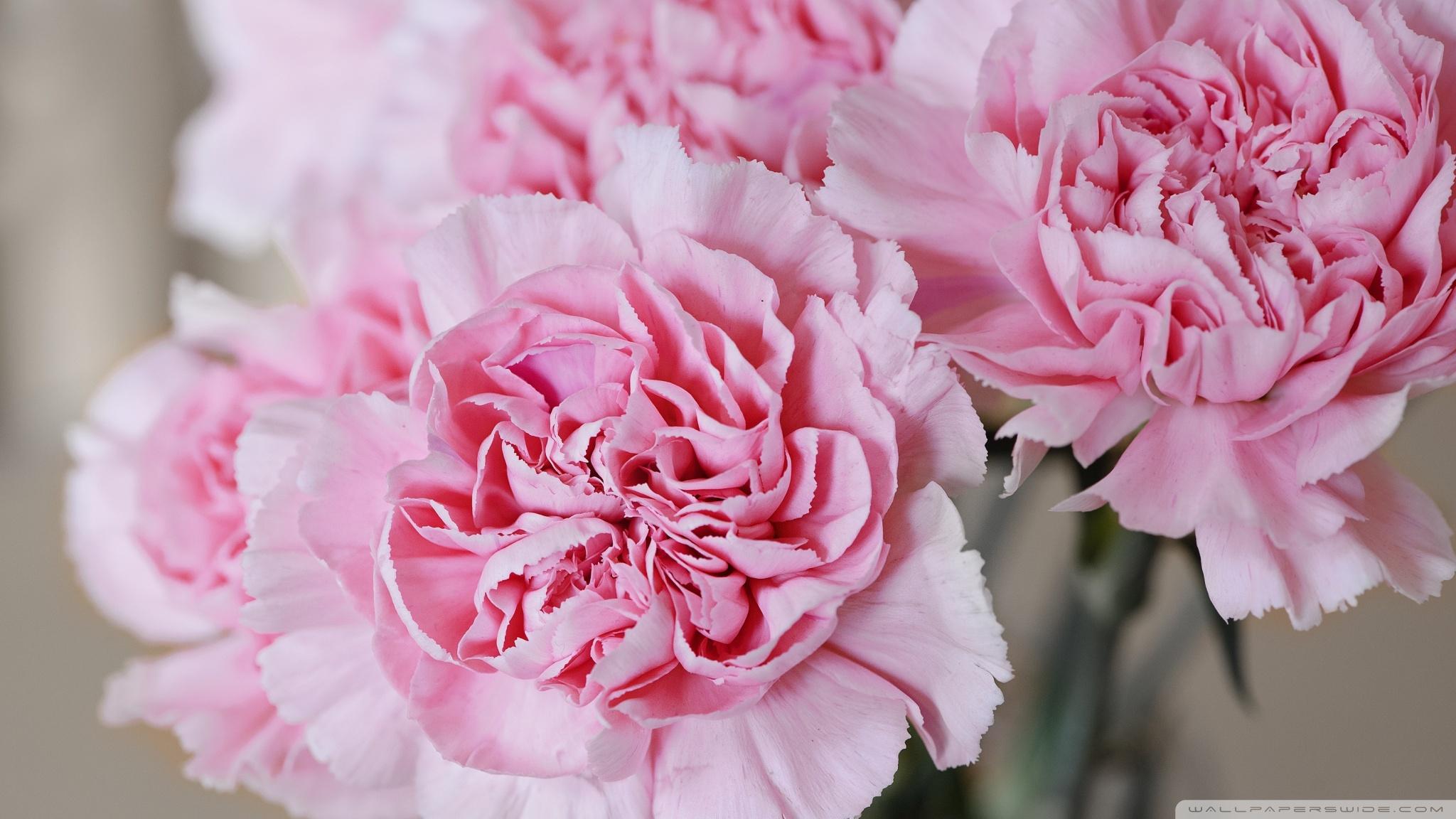 Cute Pink Computer Wallpaper Light Pink Carnations Flowers Uhd Desktop Wallpaper For 4k