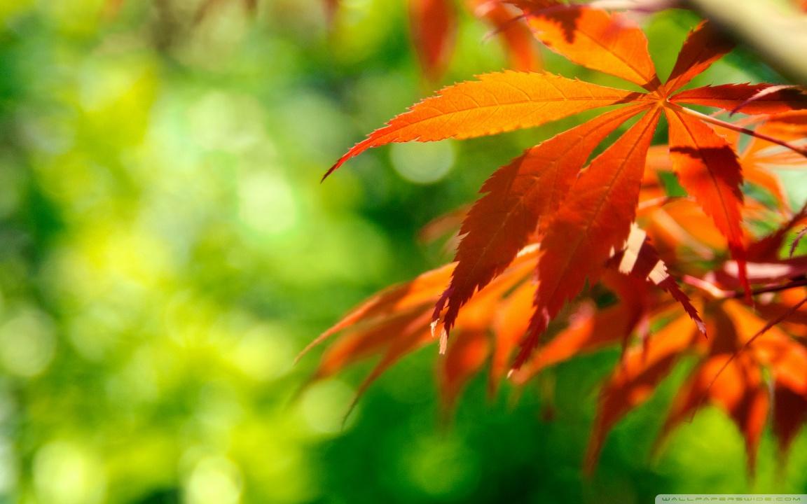 Falling Maple Leaves Wallpaper Orange Fall Leaves Against A Green Background 4k Hd
