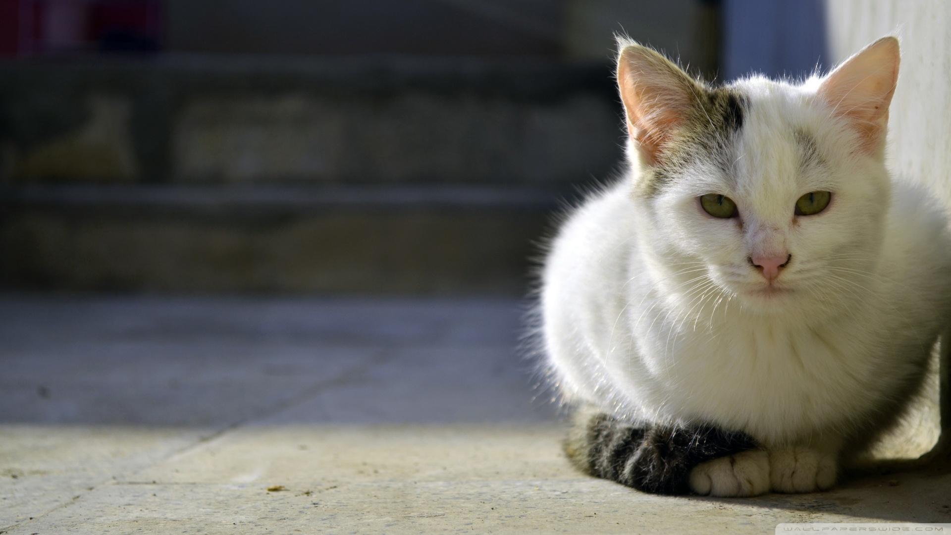 Cute Cat Hd Wallpapers For Mobile Persian Cat Ultra Hd Desktop Background Wallpaper For 4k