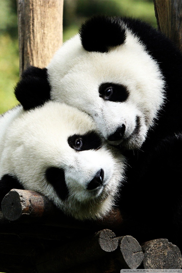 Cute Baby Hd Wallpapers 1920x1080 Playful Pandas Ultra Hd Desktop Background Wallpaper For