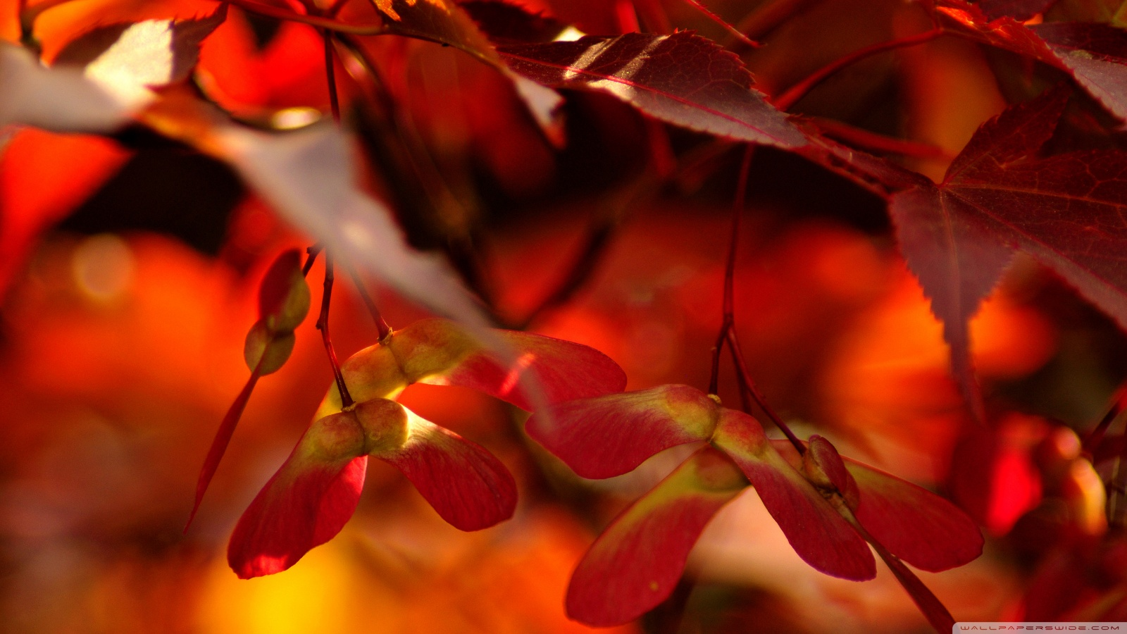 Fall Wallpaper Dual Monitor Red Autumn Leaves Close Up 4k Hd Desktop Wallpaper For 4k
