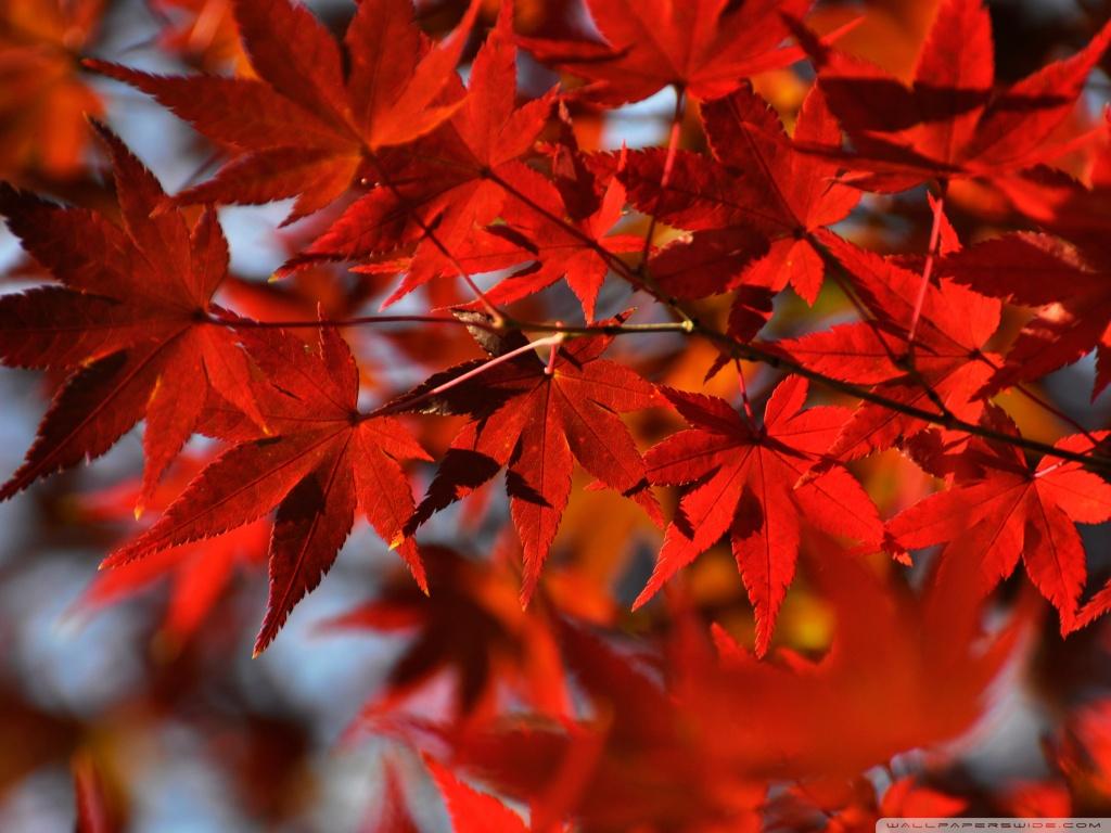 Fall Leaves Ipad Wallpaper Red Japanese Maple Leaves 4k Hd Desktop Wallpaper For 4k